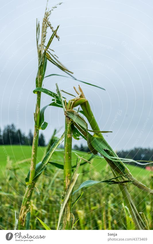 Vom Hagel Sturm zerstörtes Maisfeld Hagelsturm Hagelschaden Feld Landwirtschaft Natur Pflanze grün Sommer Nutzpflanze Umwelt Außenaufnahme Himmel Landschaft
