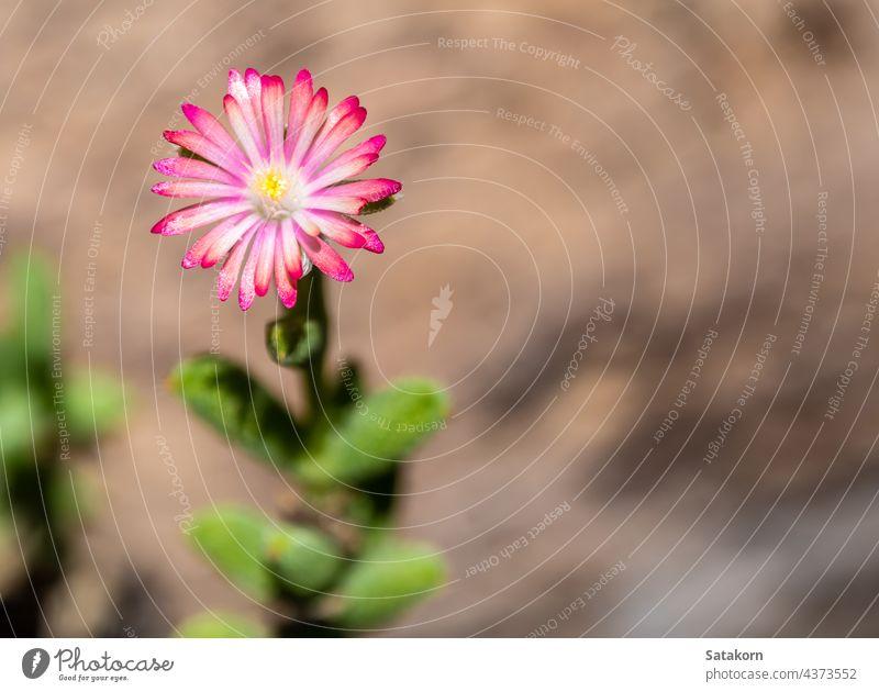Lila Lampranthus Rosa Farbe Blume des Eis Pflanze in der Natur Sukkulente geblümt Garten purpur Hintergrund natürlich schön Blütenblatt Flora Blütezeit