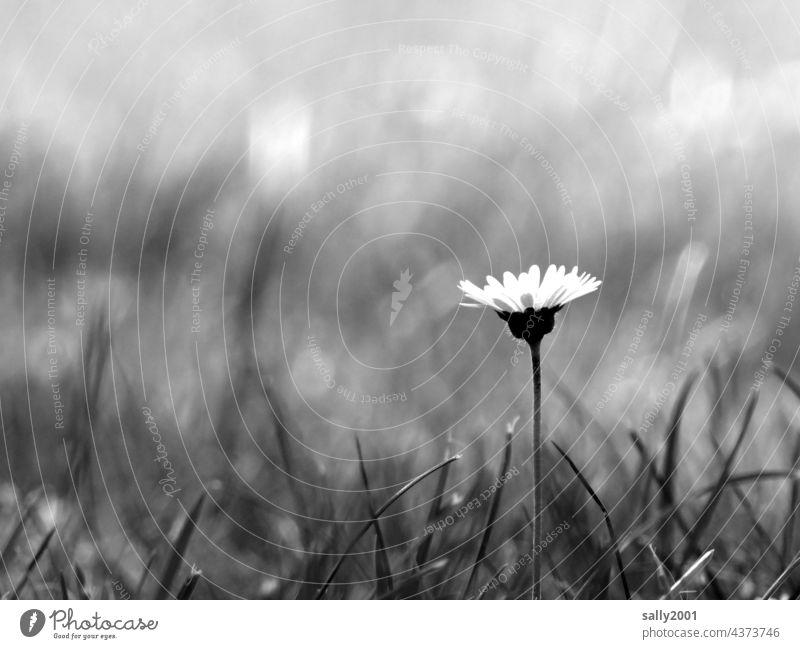 Gänseblümchen Blume Blümchen Wiese Sommer Frühling Pflanze Blüte Garten schön Gras Schwarzweißfoto blühen Blumenwiese Wiesenblume Wildpflanze Bellis perennis