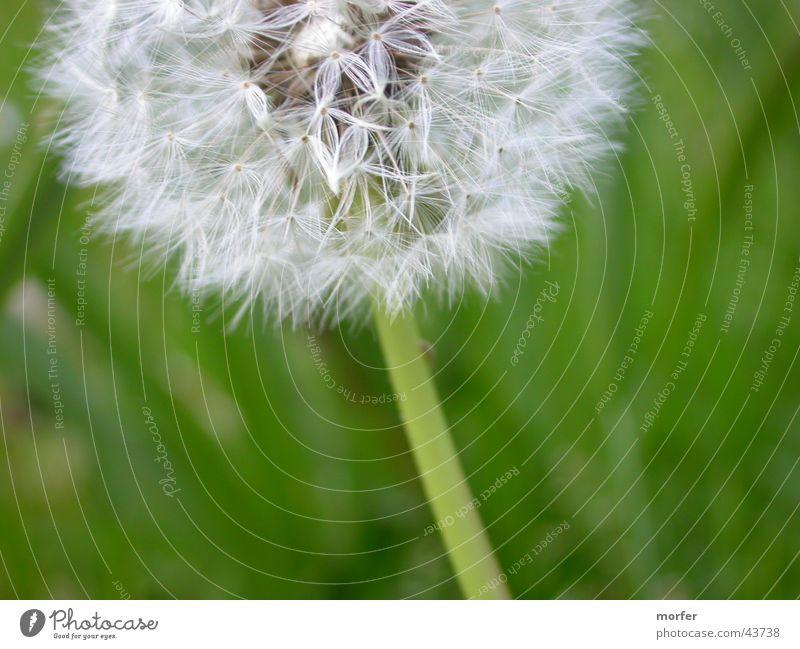Pusteblume Löwenzahn Blume grün Blüte Stengel