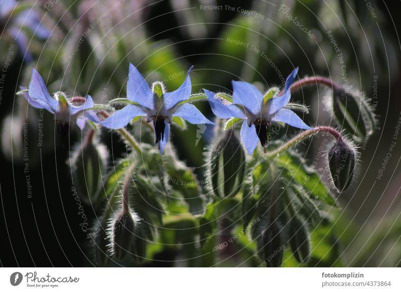 blaue Borretschblüte Küchenkräuter Balkonpflanze Kräuter Kräuter & Gewürze Lebensmittel Gesunde Ernährung Pflanze Küchenkraut Heilkraut Kräutergarten