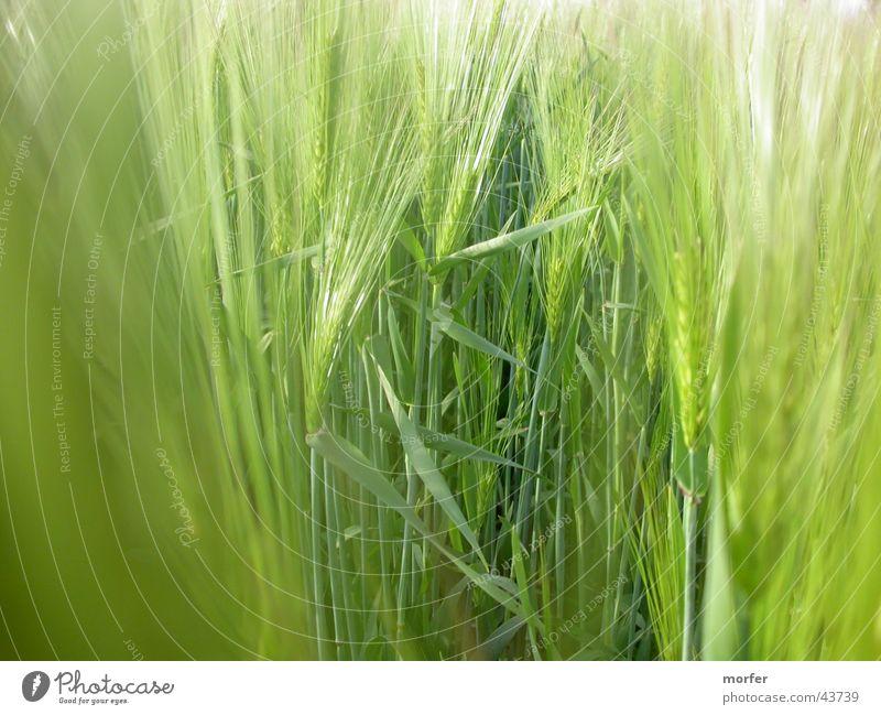 Wiese grün Wiese Feld Getreide Halm Roggen