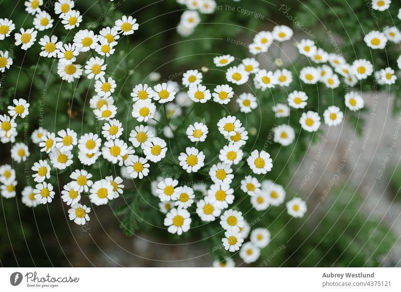 Wildes Gänseblümchen neben einem Bach Kalifornien Campingplatz geblümt Blumen Boden wachsend Wachstum idyllwild Leben Reittier Berge Natur Perspektive Pflanze