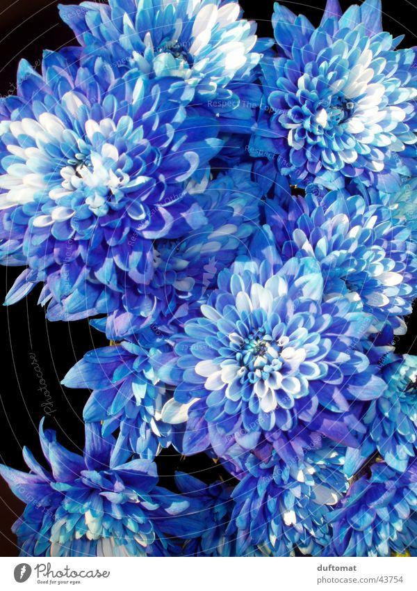 flora royale weiß Blume blau Pflanze Blatt