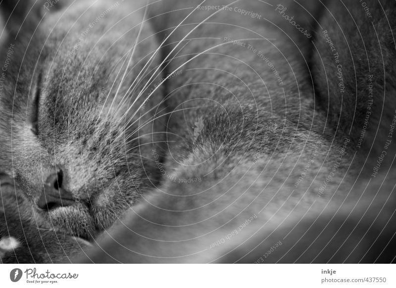 Vollbildmodus + Schlummermodus Katze Erholung ruhig Tier Gefühle grau liegen schlafen weich Pause Fell Tiergesicht nah Müdigkeit Geborgenheit kuschlig