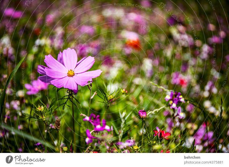 blümchen Jahreszeiten sommerlich Frühling Cosmea Natur Landschaft Pflanze Sommer Blume Gras Blatt Blüte Wildpflanze Garten Park Wiese Blühend Wachstum Duft