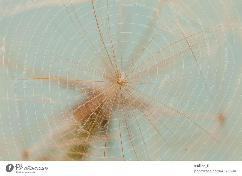 natürlich minimalistisch zarte Farben Textur abstrakt Hintergrund Hintergründe Schönheit Blüte Pusteblume blau Botanik Postkarte Nahaufnahme Löwenzahn