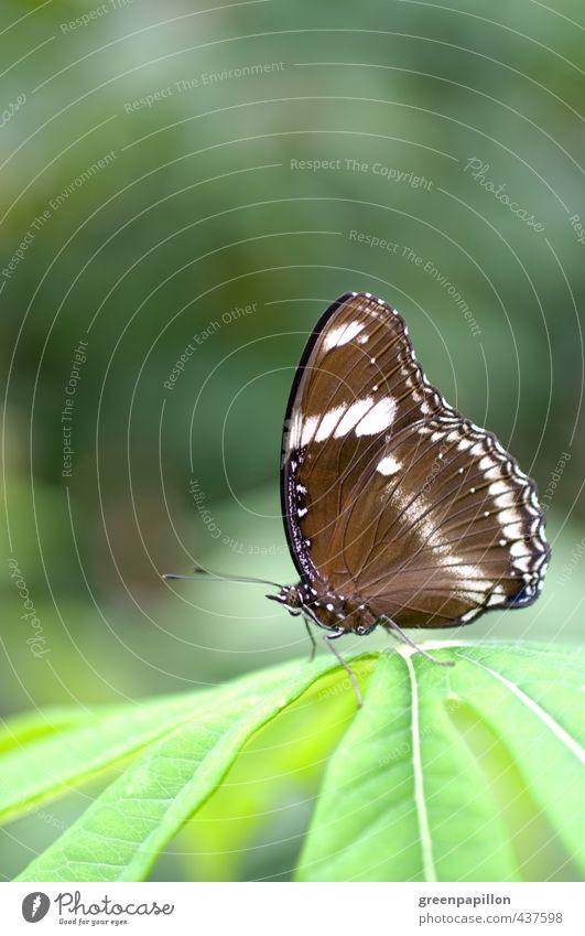 Hypolimnas bolina - Große oder gewöhnliche Eierfliege Natur grün Pflanze Erholung Tier Blatt Umwelt braun Wellness Schmetterling Zoo Urwald exotisch