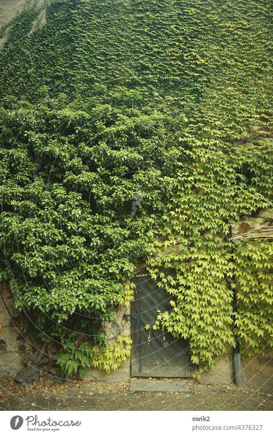 Grünfläche Efeu Wand Mauer Außenaufnahme Pflanze grün Grünpflanze Wachstum Ranke Sträucher Kletterpflanzen bewachsen Fassade Wildpflanze Menschenleer