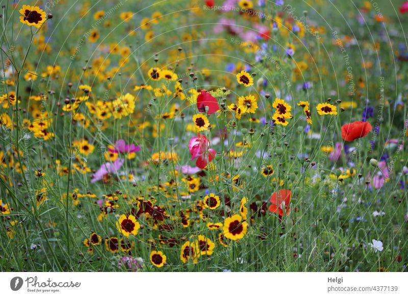 Blumenwiese Blühwiese Blüte bunt viele Bienenparadies Insektenparadies blühen wachsen Park Natur Umwelt Umweltschutz Pflanze Sommer Außenaufnahme Wiese