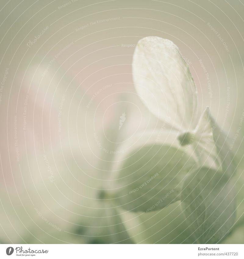 zart Umwelt Natur Pflanze Frühling Sommer Blume Blüte Garten Blühend Duft leuchten ästhetisch authentisch natürlich grün weiß Hortensie Hortensienblüte