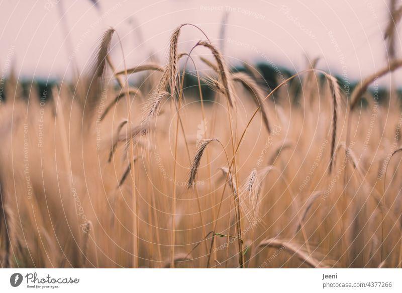 Erntezeit - Gerstenfeld Getreide Feld Ähren Getreidefeld Getreideernte Korn Sommer Landwirtschaft landwirtschaftlich Kornfeld Ackerbau Ernährung Nahrung