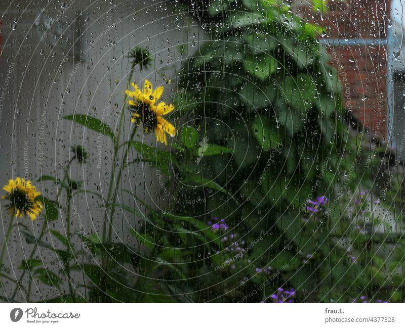 verregnete Sonnenblume Dachterrasse Blüte Balkon Natur Himmel Pflanze Regen Schornstein Prunkwinde Wiesenraute Fensterscheibe Regentropfen Wäschetrockner