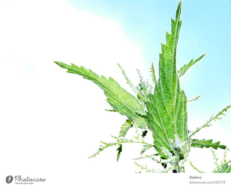 Urtica Brennnessel Sommer Heilpflanzen Unkraut Brennnesselblatt Vor hellem Hintergrund Freisteller Textfreiraum links