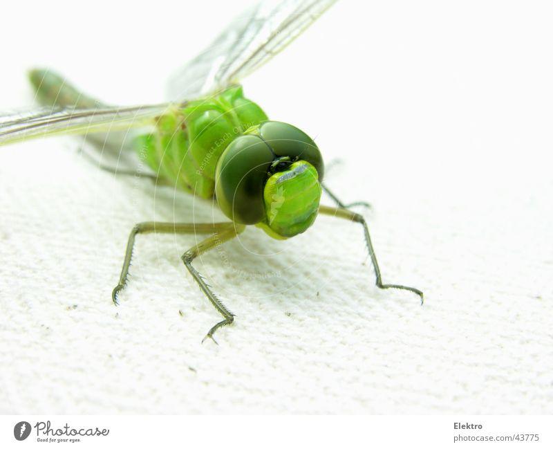 Odonata Libelle Insekt Flügel Auge grün Makroaufnahme Spannweite Tragflächenspitze Gras Wiese Dieb Spinne See Teich Bach Garten Gartenbau Sommer departure