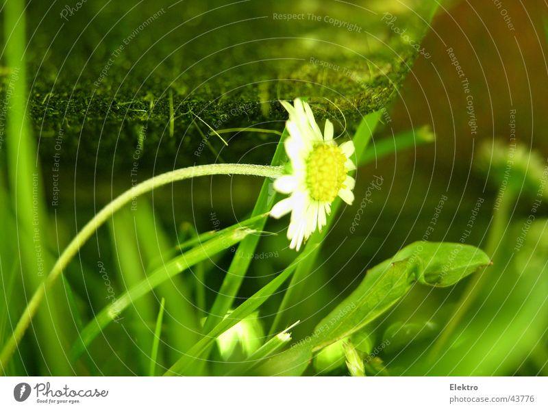 Unters Messer gekommen Rasenmäher Sportrasen Wiese Blume Gras Gänseblümchen rasenmähen geschnitten Sense Fußballplatz kürzen sprießen Garten Gartenbau Park