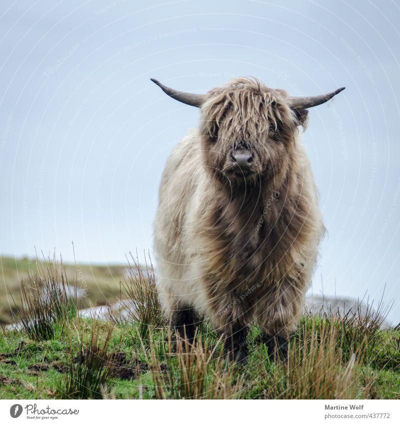 come little Moo Tier Großbritannien Schottland Äußere Hebriden Europa brünett grauhaarig langhaarig Behaarung Nutztier Kuh Galloway 1 Neugier