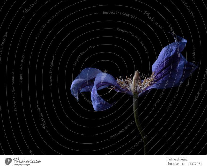 Clematis Duft Blühend Blüte Nahaufnahme Farbfoto elegant Blumen schön Pflanze schwarz schwarzer hintergrund Studioaufnahme Studiobeleuchtung studiolicht