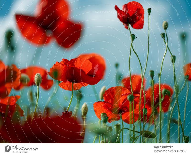 Mohnfeld Außenaufnahme Farbfoto Mohnblüte papaver kapseln mohnkapseln roter mohn intensiv mohnwiese Klatschmohn Romantik friedlich Idylle viele natürlich Feld