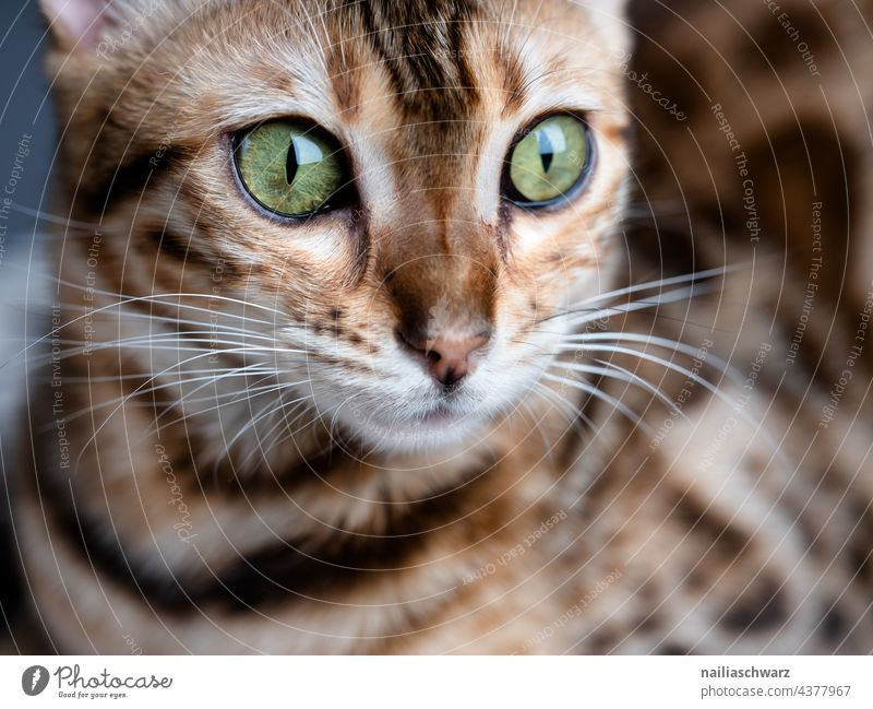 Bengal Katze Olivia Blick nach vorn Nahaufnahme Studioaufnahme Farbfoto elegant Tierliebe friedlich Interesse Vertrauen Freude braun Neugier niedlich schön