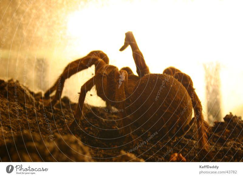 Arachnophobia braun Angst groß Verkehr Ekel Spinne Vogelspinne