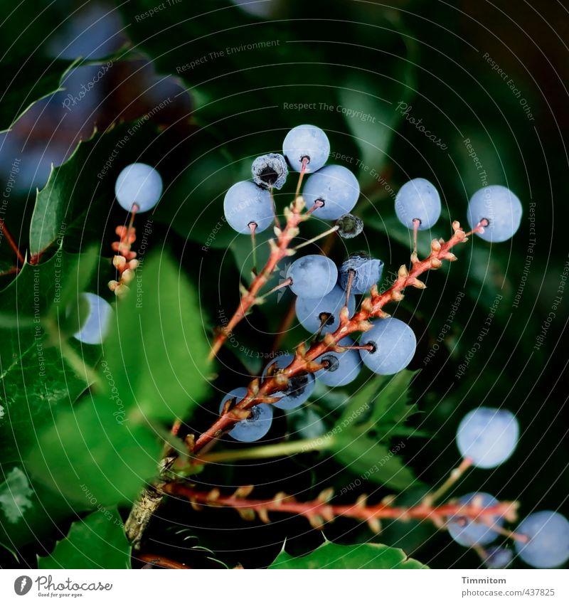 Beerenauslese. Natur blau grün Pflanze Blatt schwarz Umwelt natürlich braun Wachstum ästhetisch