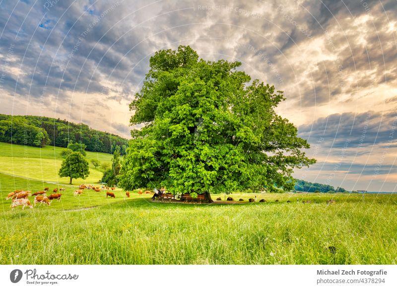Schweizer Wahrzeichen, die Linde in Linn Landschaft Feld blau im Freien Baum Natur natürlich grün Himmel Wiese Lindenbaum Gras schön Frühling Sommer Hintergrund