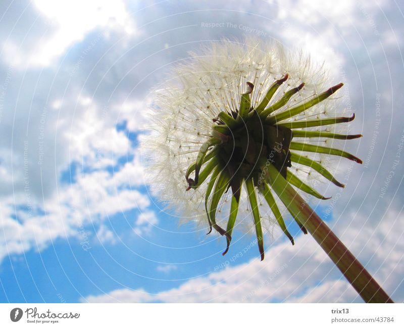 Löwenzahn Himmel Blume grün blau Pflanze Wolken Leben oben Freiheit grau Unendlichkeit Löwenzahn Halm schlechtes Wetter
