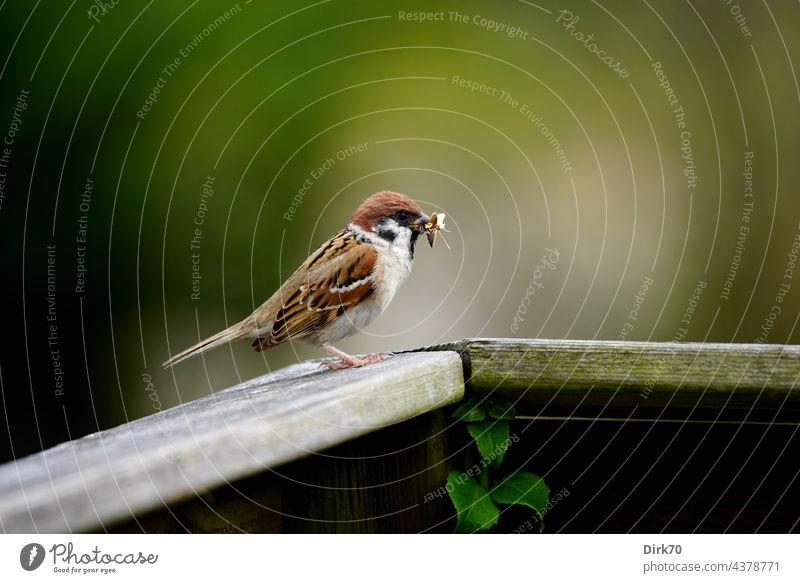 Spatz mit Futter für den Nachwuchs im Schnabel Sperling Sperlingsvögel Singvogel Feldsperling Vogel Tier Außenaufnahme Natur Tierporträt Wildtier Farbfoto Tag