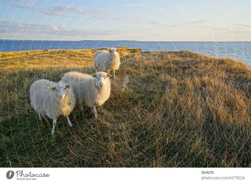 Schafe auf der dänischen Halbinsel Ordrup Næs auf Seeland Ostsee Dänemark Schafherde Natur Nutztier Herde Wiese Landschaft Tiergruppe Außenaufnahme Wolle