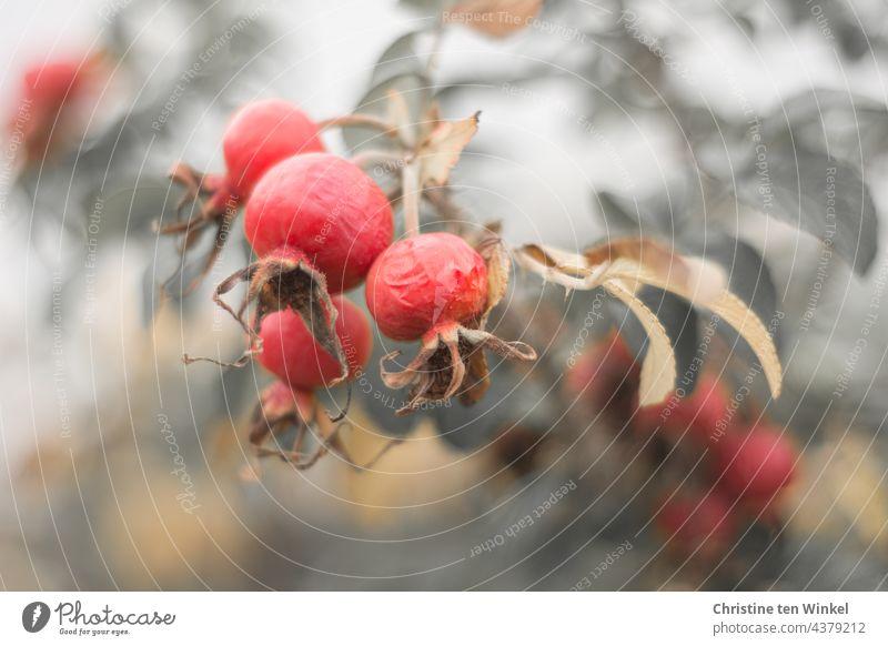 Hagebutten rund, zeugen von Vergänglichkeit, herbstlich rot gefärbt Frucht Rose Pflanze Nahaufnahme Schwache Tiefenschärfe entsättigt Herbst Natur Garten schön