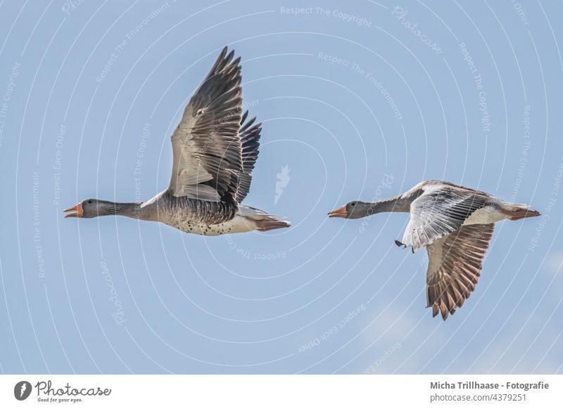 Fliegende Graugänse Anser anser Wildgänse Gänse Kopf Schnabel Auge Hals Federn Gefieder Flügel Beine Flügelschlag Spannweite fliegen Flug Sonnenschein Vögel