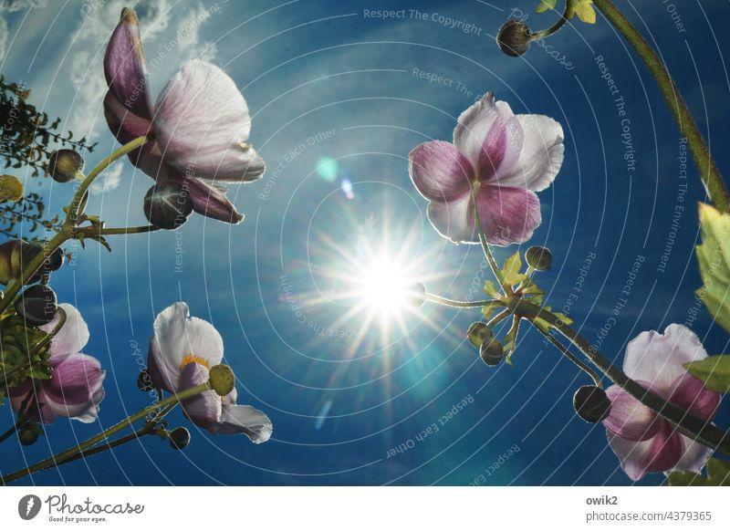 Sonnwärts Herbstanemone Außenaufnahme Blütenblätter Blütenstempel Stengel Licht leuchten mehrfarbig Textfreiraum Mitte zart harmonisch Blatt Gegenlicht
