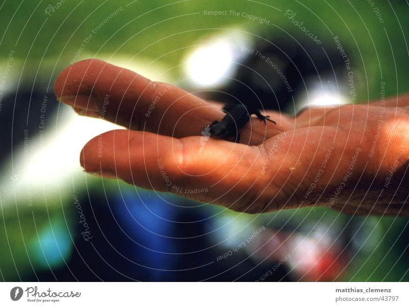 Eidechse Echte Eidechsen Hand Finger mehrfarbig Natur Tierchen Leben