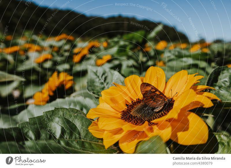 Schmetterling oben auf einer Sonnenblume. Auf dem Sonnenblumenfeld. Hintergrund schön Botanik hell Nahaufnahme Flora geblümt Blume Garten grün natürlich Natur