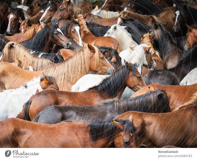 Herde von Wildpferden wieder im Freien vereint Pferde wild wiedervereinigt Tiere Spanien braun Zusammensein anders schnell schnelles Pferd Fauna schön Säugetier