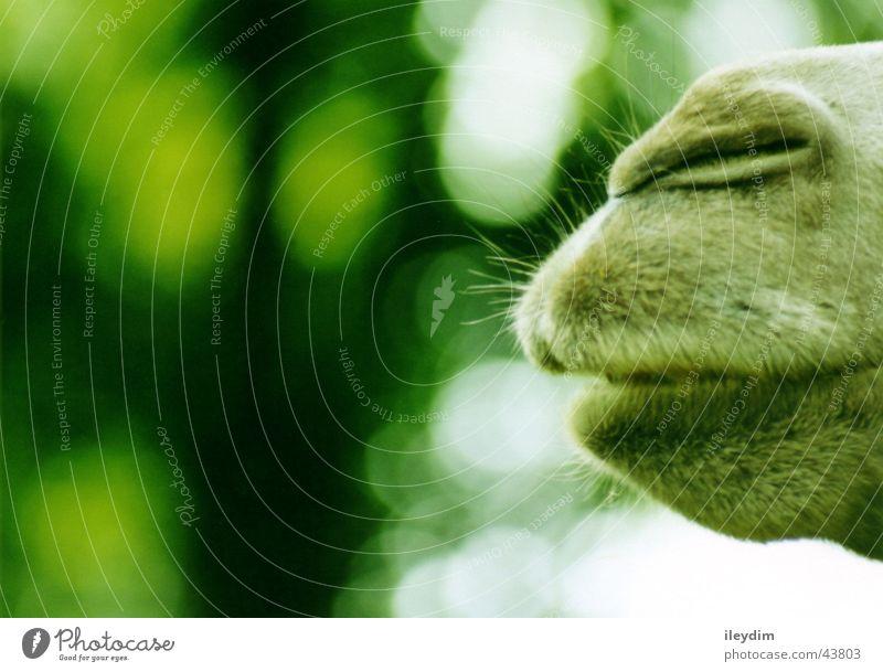 camel grün Mund Verkehr Zoo Schnauze Kamel