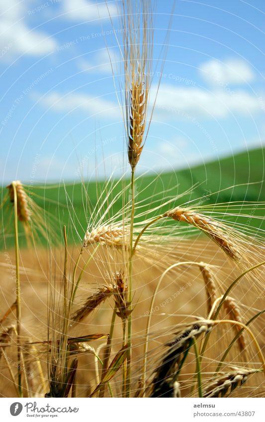 Ähre Feld Gerste Sommer Wolken Ähren Halm Getreide Ernte