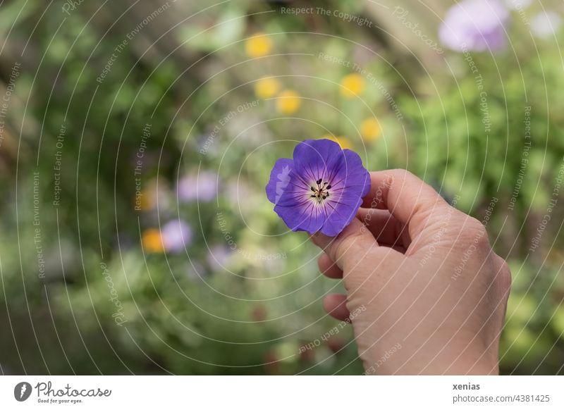 Eine Hand hält violetten Storchschnabel vor grünem Hintergrund mit gelben und violetten Tupfen Blume Blüte festhalten zeigen hinsehen Storchenschnabel Garten