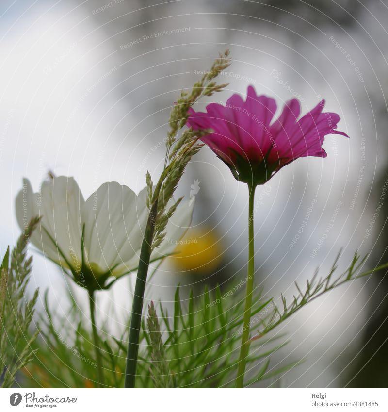 rosa und weiße Cosmeablüte in einer Blumenwiese Blüte Schmuckkörbchen Grashalm Gegenlicht Blühwiese Park Natur Umwelt blühen wachsen Sommer Pflanze