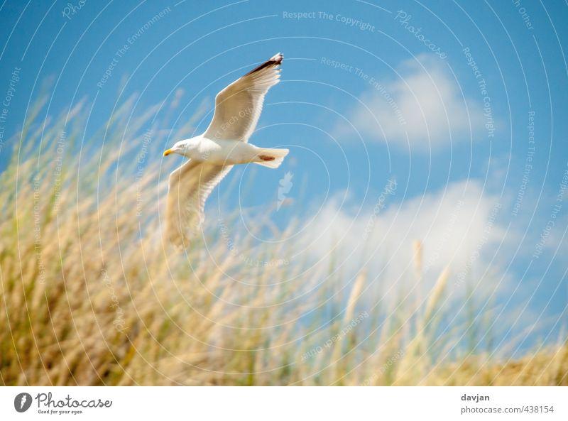 Tiefflieger Umwelt Natur Himmel Sommer Schönes Wetter Gras Küste Nordsee Möwe 1 Tier fliegen bedrohlich selbstbewußt Willensstärke Mut Tatkraft Abenteuer