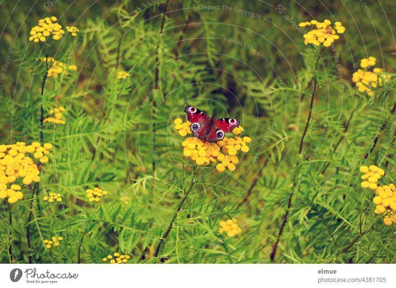 Tagpfauenauge - Schmetterling - auf einer Wurmkrautblüte / Insektensterben / Umweltschutz Falter Edelfalter Rainfarn Korbblütler Wucherblume tanacetum vulgare