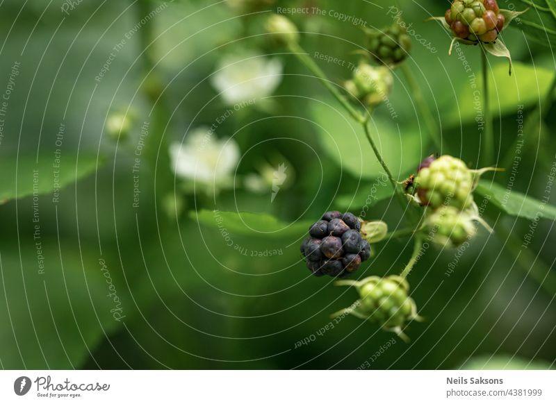 schwarze, essfertige und noch grüne Brombeeren im natürlichen Lebensraum. Waldbeeren gefunden im August Anfang. Grüner natürlicher unscharfer Hintergrund
