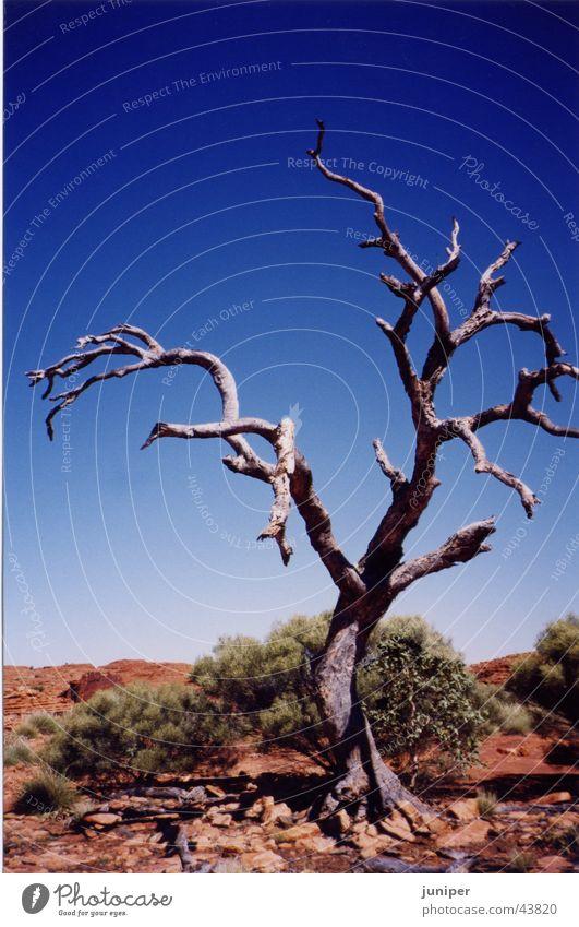 Ghosttree Baum weiß Baumrinde Eukalyptusbaum Australien Einsamkeit Outback Wüste karg