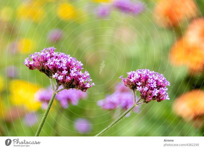 Sommerparkblüten - präsentieren sich leuchtend - nicht fragend, wie lang Verbenen Blüten Pflanze Blume Blühend Wiesenblume Wachstum Tag Natur Blumenwiese rosa