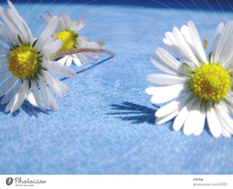 gaenseBluemchen Natur Blume blau Pflanze Sommer gelb frisch Gänseblümchen