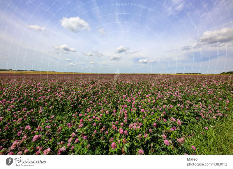 Sommerlandschaft mit einem Feld mit blühendem rosa Klee Blüte Blume grün Landschaft Wiese Natur Frühling schön Gras Blatt Pflanze ländlich Überstrahlung