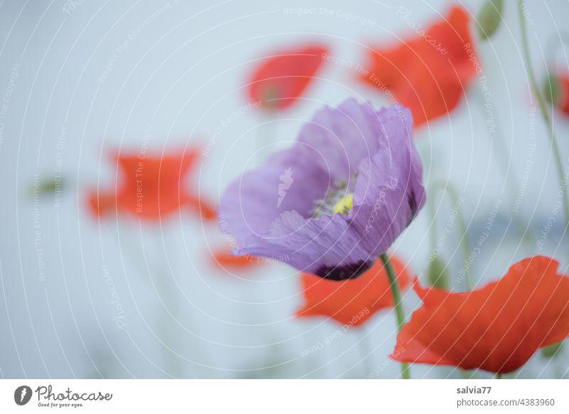 Mo(h)ntagsgruß Natur Mohn Blume Blüte Sommer Klatschmohn Mohnblüte Schlafmohn Mohnfeld Farbfoto roter mohn Menschenleer Außenaufnahme Duft