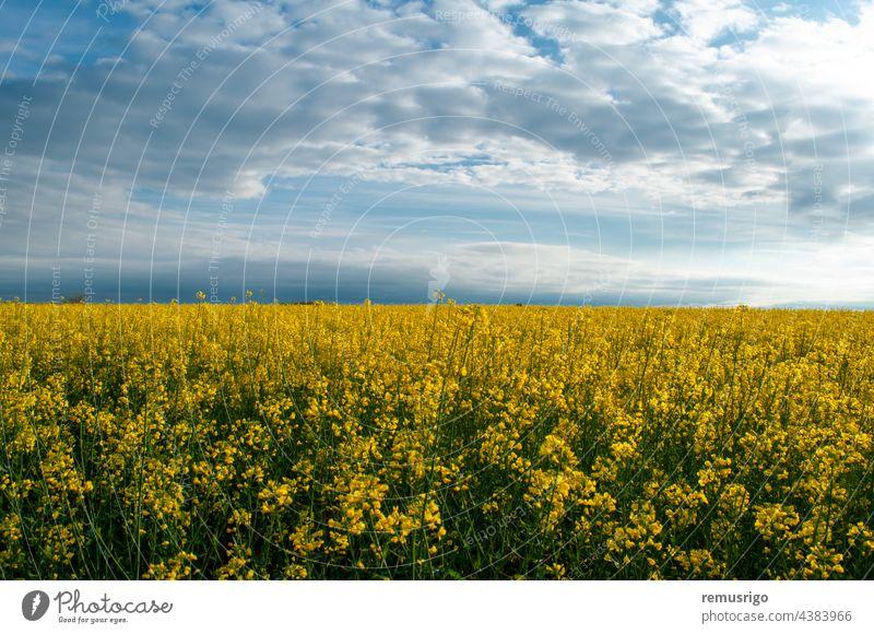 Blick auf ein Rapsfeld. Gelbe Blüten gegen den blauen Himmel. 2014 Ortisoara Rumänien landwirtschaftlich Ackerbau Hintergrund Blütezeit Überstrahlung Cloud