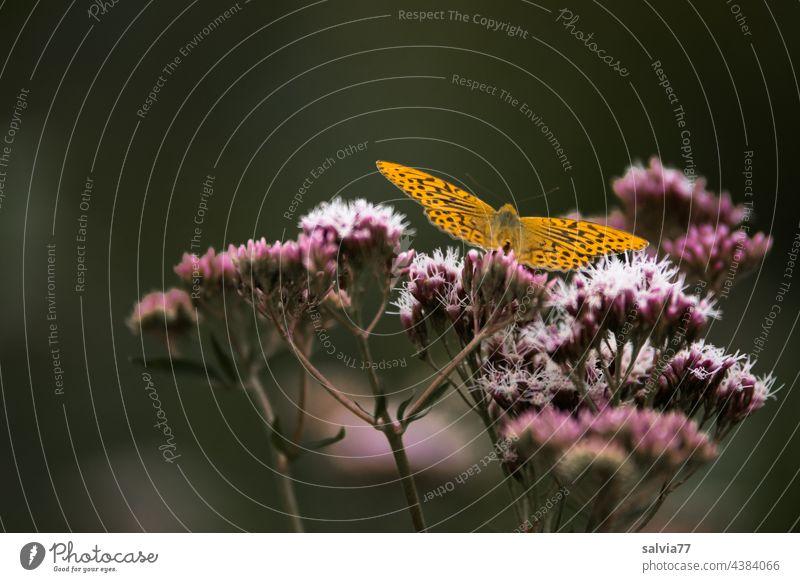 Lichtung im Wald Eupatorium cannabinum Wasserdost Blüte Kaisermantel Schmetterling Argynnis parphia Lepidoptera Waldlichtung Natur Pflanze Sommer Nahaufnahme